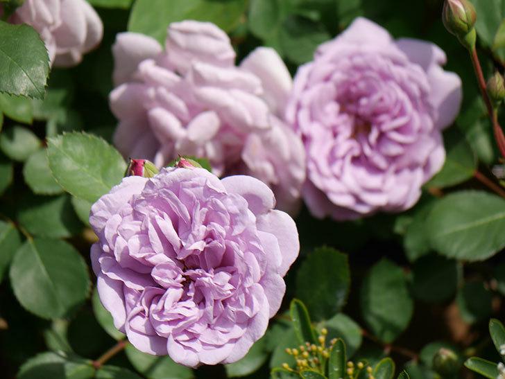 レイニーブルー(Rainy Blue)の花が少しずつ増えてきた。ツルバラ。2021年-017.jpg