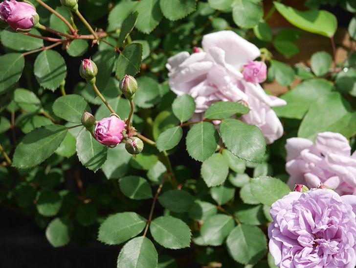 レイニーブルー(Rainy Blue)の花が少しずつ増えてきた。ツルバラ。2021年-018.jpg