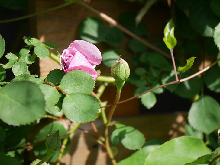 レイニーブルー(Rainy Blue)の花が少し咲いた。ツルバラ。2021年-006.jpg