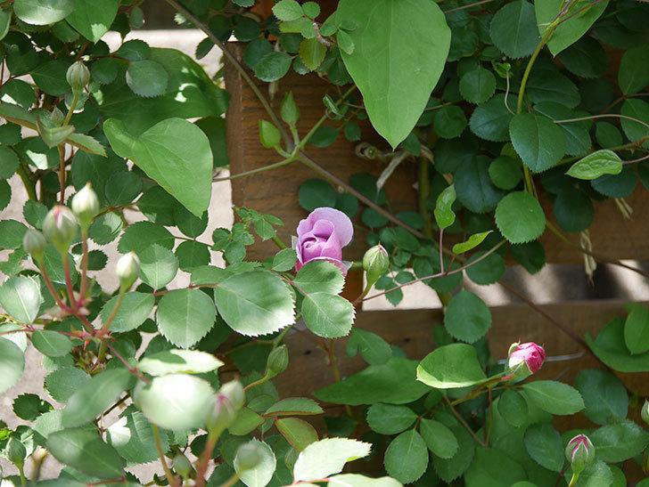 レイニーブルー(Rainy Blue)の花が少し咲いた。ツルバラ。2021年-009.jpg