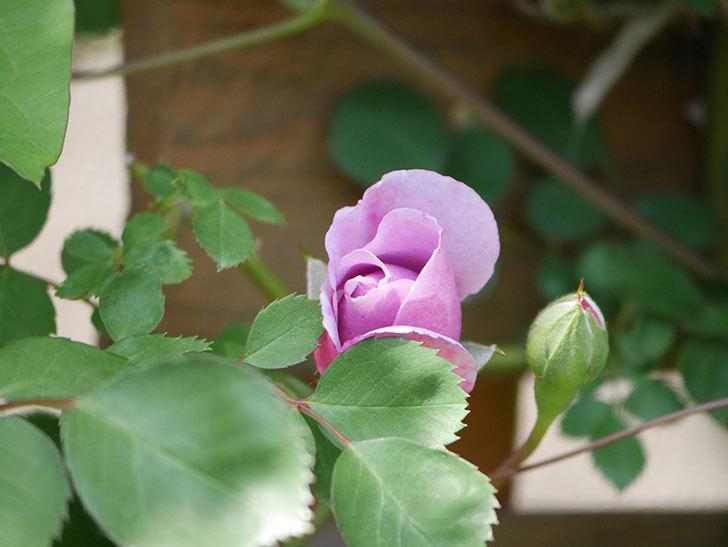 レイニーブルー(Rainy Blue)の花が少し咲いた。ツルバラ。2021年-010.jpg