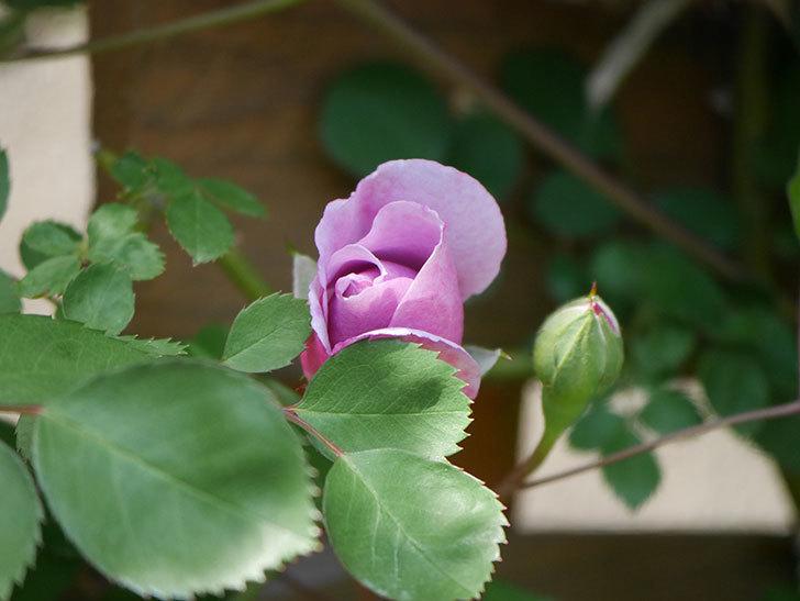 レイニーブルー(Rainy Blue)の花が少し咲いた。ツルバラ。2021年-011.jpg