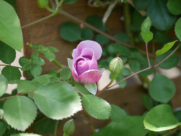 レイニーブルー(Rainy Blue)の花が少し咲いた。ツルバラ。2021年-012.jpg