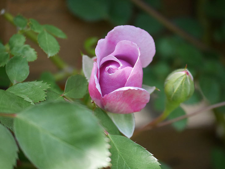 レイニーブルー(Rainy Blue)の花が少し咲いた。ツルバラ。2021年-013.jpg