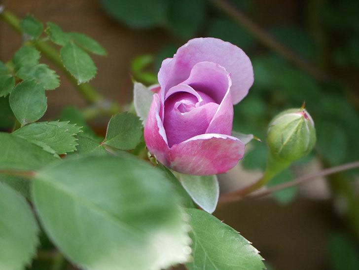 レイニーブルー(Rainy Blue)の花が少し咲いた。ツルバラ。2021年-014.jpg