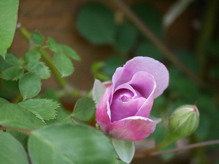 レイニーブルー(Rainy Blue)の花が少し咲いた。ツルバラ。2021年-015.jpg