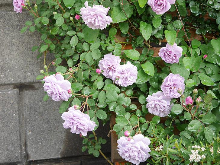 レイニーブルー(Rainy Blue)の花が良い感じになってきた。ツルバラ。2021年-001.jpg