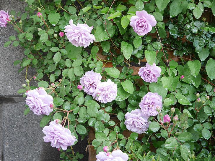 レイニーブルー(Rainy Blue)の花が良い感じになってきた。ツルバラ。2021年-002.jpg
