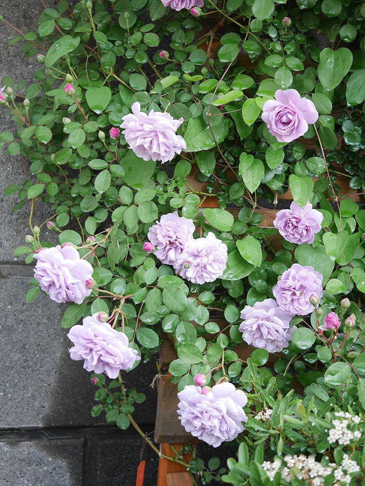 レイニーブルー(Rainy Blue)の花が良い感じになってきた。ツルバラ。2021年-003.jpg