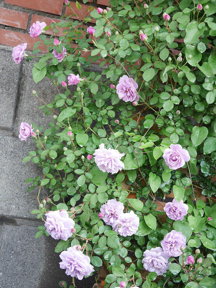 レイニーブルー(Rainy Blue)の花が良い感じになってきた。ツルバラ。2021年-004.jpg