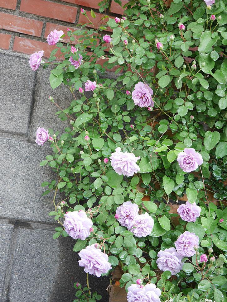 レイニーブルー(Rainy Blue)の花が良い感じになってきた。ツルバラ。2021年-005.jpg