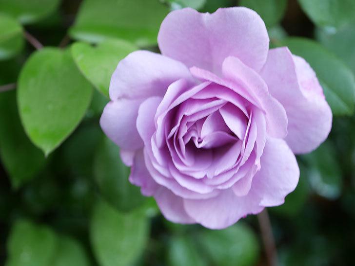レイニーブルー(Rainy Blue)の花が良い感じになってきた。ツルバラ。2021年-006.jpg