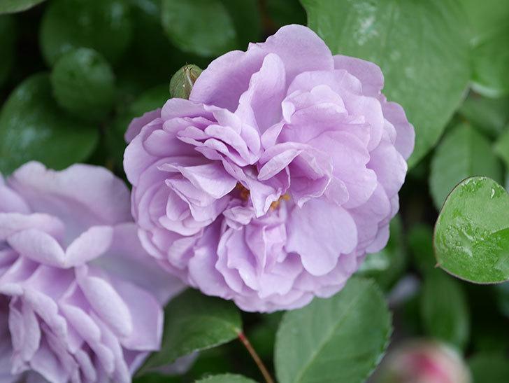 レイニーブルー(Rainy Blue)の花が良い感じになってきた。ツルバラ。2021年-007.jpg