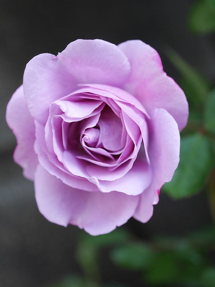 レイニーブルー(Rainy Blue)の花が良い感じになってきた。ツルバラ。2021年-008.jpg