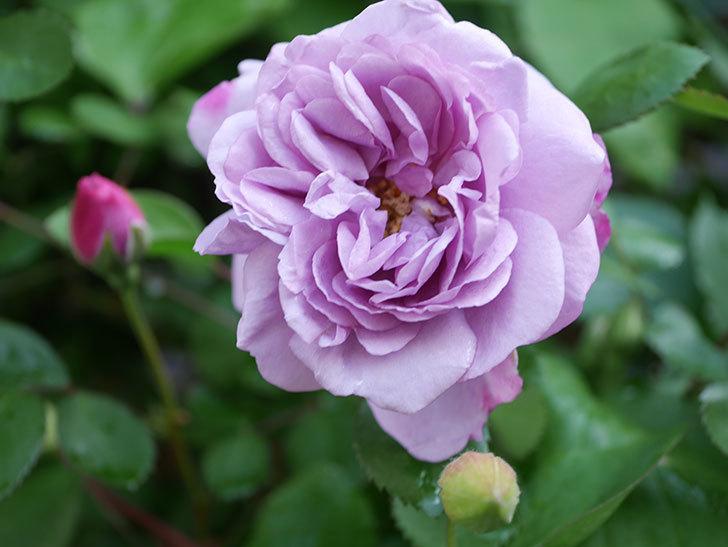 レイニーブルー(Rainy Blue)の花が良い感じになってきた。ツルバラ。2021年-009.jpg