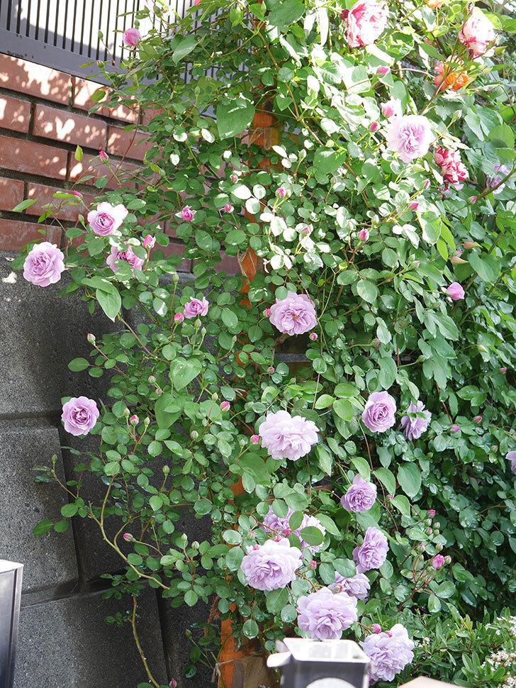 レイニーブルー(Rainy Blue)の花が良い感じになってきた。ツルバラ。2021年-010.jpg