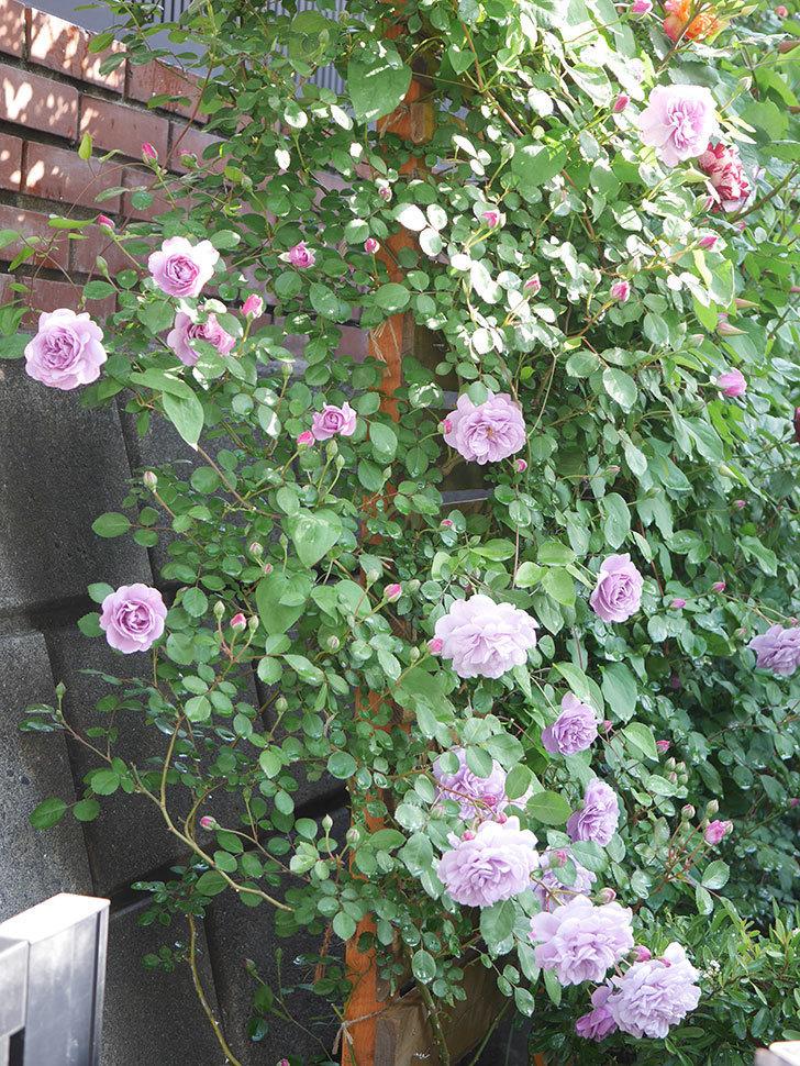 レイニーブルー(Rainy Blue)の花が良い感じになってきた。ツルバラ。2021年-011.jpg