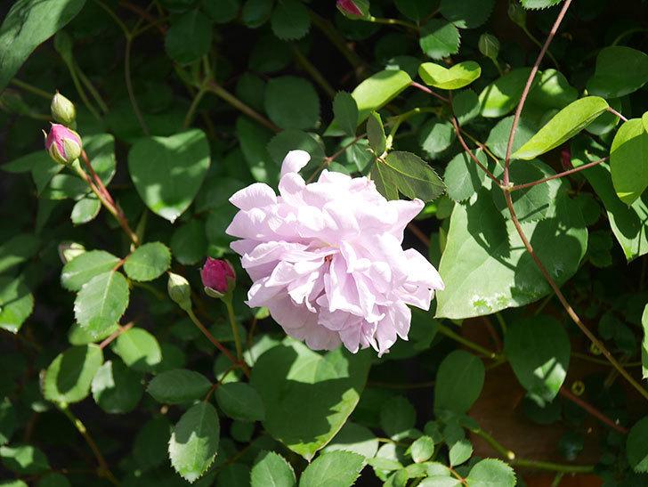 レイニーブルー(Rainy Blue)の花が良い感じになってきた。ツルバラ。2021年-014.jpg
