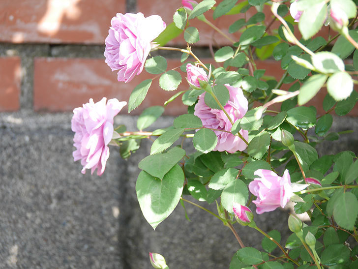 レイニーブルー(Rainy Blue)の花が良い感じになってきた。ツルバラ。2021年-015.jpg