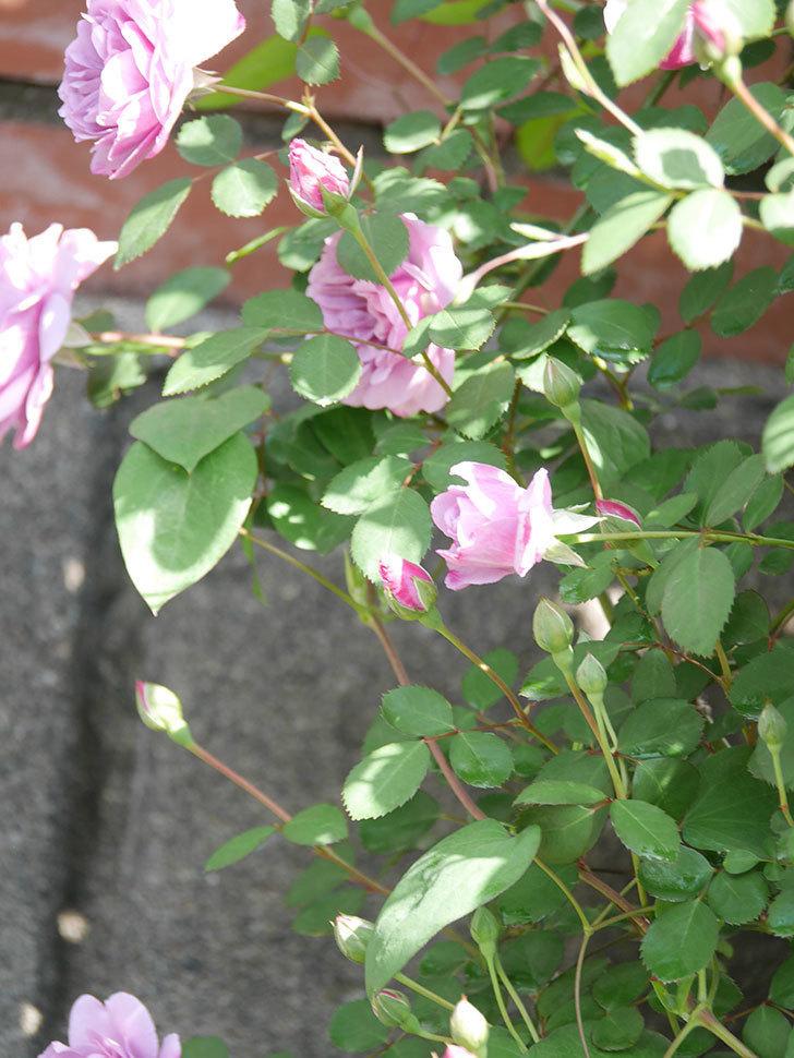 レイニーブルー(Rainy Blue)の花が良い感じになってきた。ツルバラ。2021年-017.jpg
