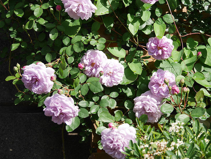 レイニーブルー(Rainy Blue)の花が良い感じになってきた。ツルバラ。2021年-018.jpg
