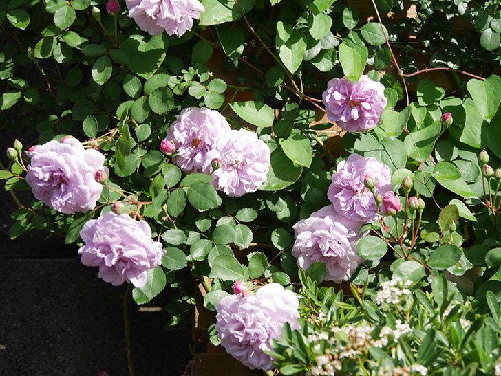 レイニーブルー(Rainy Blue)の花が良い感じになってきた。ツルバラ。2021年-019.jpg