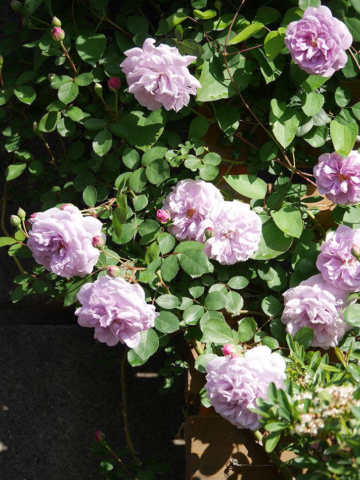 レイニーブルー(Rainy Blue)の花が良い感じになってきた。ツルバラ。2021年-020.jpg