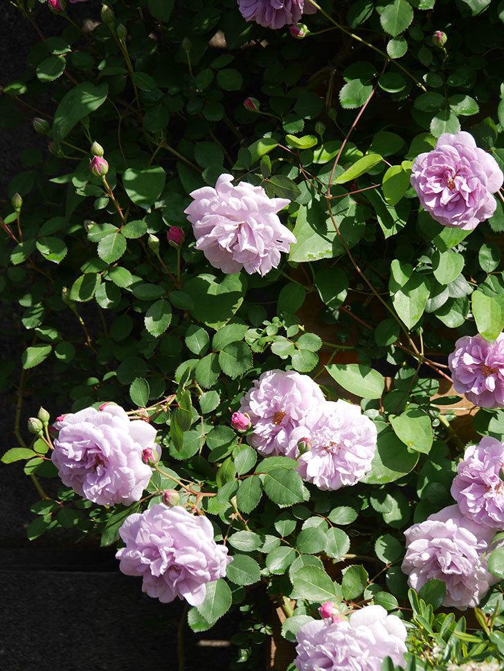 レイニーブルー(Rainy Blue)の花が良い感じになってきた。ツルバラ。2021年-021.jpg
