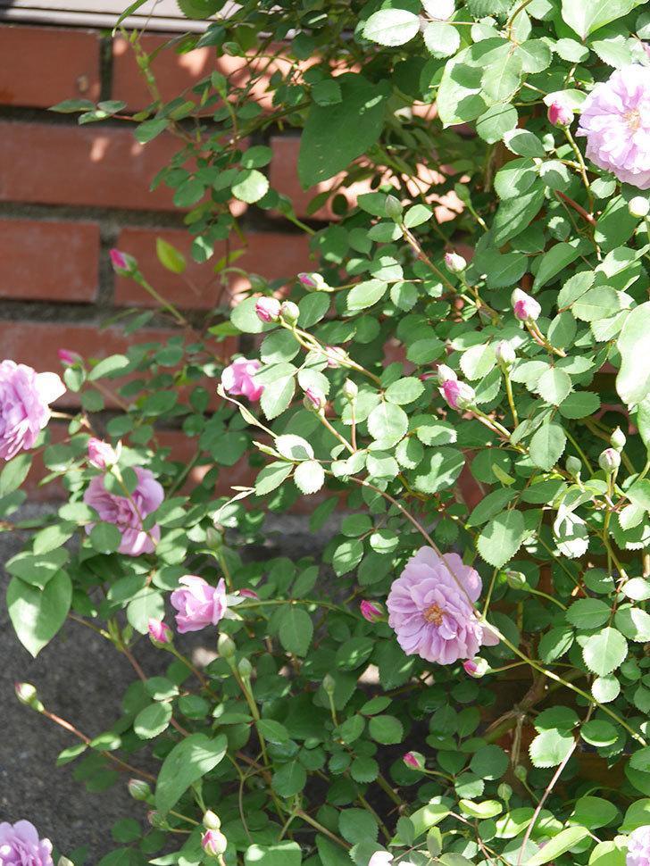 レイニーブルー(Rainy Blue)の花が良い感じになってきた。ツルバラ。2021年-022.jpg