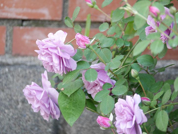 レイニーブルー(Rainy Blue)の花が良い感じになってきた。ツルバラ。2021年-024.jpg