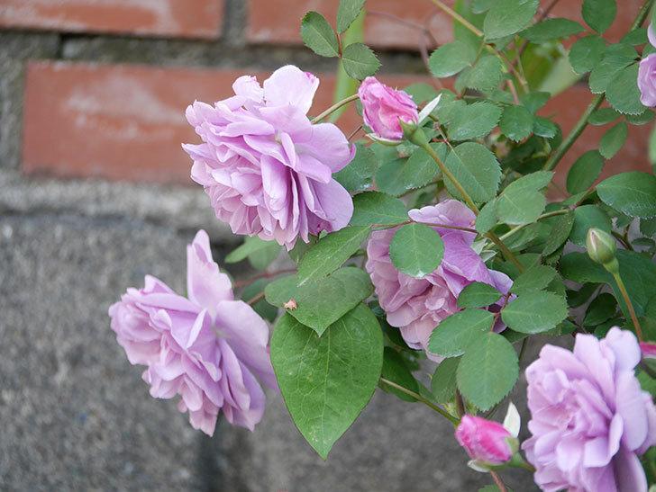 レイニーブルー(Rainy Blue)の花が良い感じになってきた。ツルバラ。2021年-025.jpg