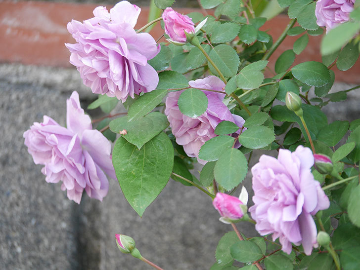 レイニーブルー(Rainy Blue)の花が良い感じになってきた。ツルバラ。2021年-026.jpg