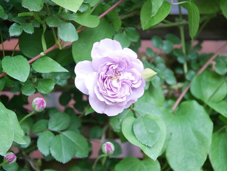 レイニーブルー(Rainy Blue)の花が良い感じになってきた。ツルバラ。2021年-027.jpg