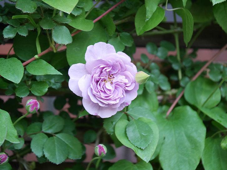 レイニーブルー(Rainy Blue)の花が良い感じになってきた。ツルバラ。2021年-028.jpg