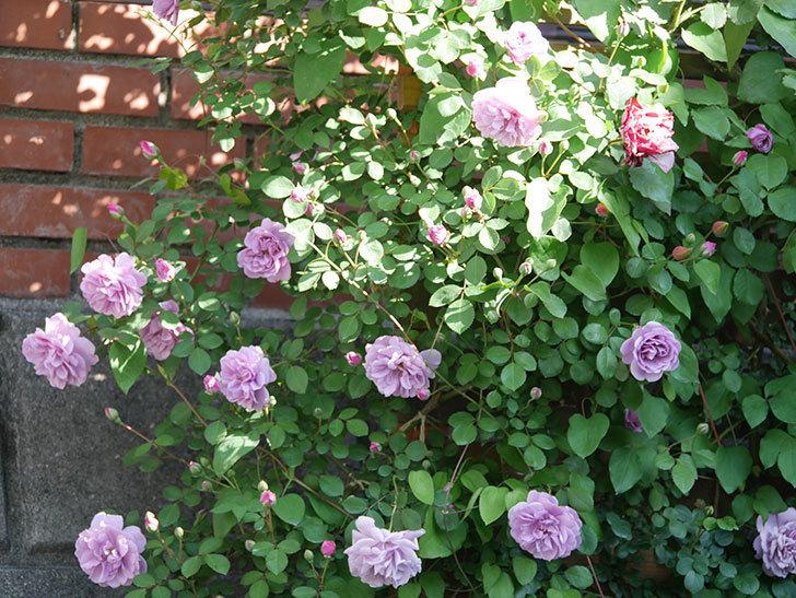 レイニーブルー(Rainy Blue)の花が良い感じになってきた。ツルバラ。2021年-029.jpg