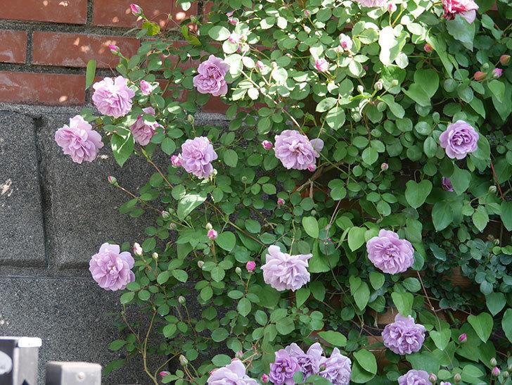 レイニーブルー(Rainy Blue)の花が良い感じになってきた。ツルバラ。2021年-030.jpg