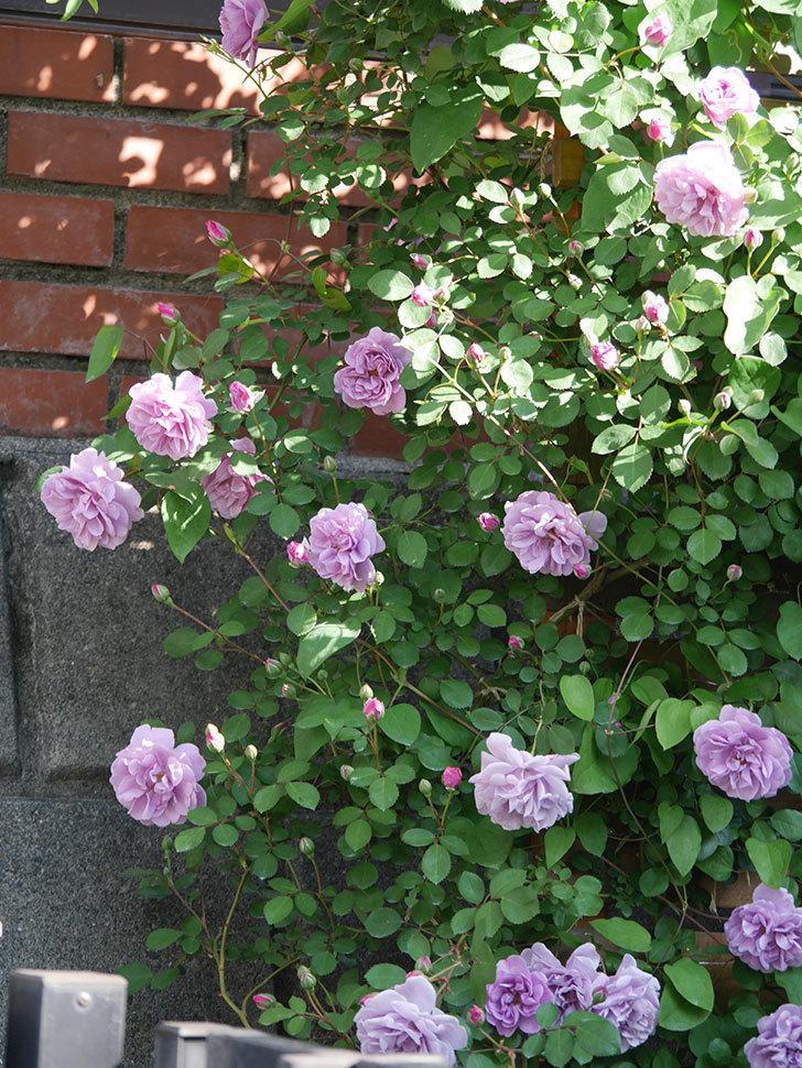 レイニーブルー(Rainy Blue)の花が良い感じになってきた。ツルバラ。2021年-031.jpg
