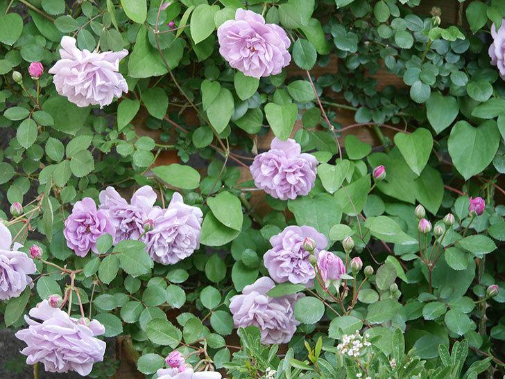 レイニーブルー(Rainy Blue)の花が良い感じになってきた。ツルバラ。2021年-032.jpg