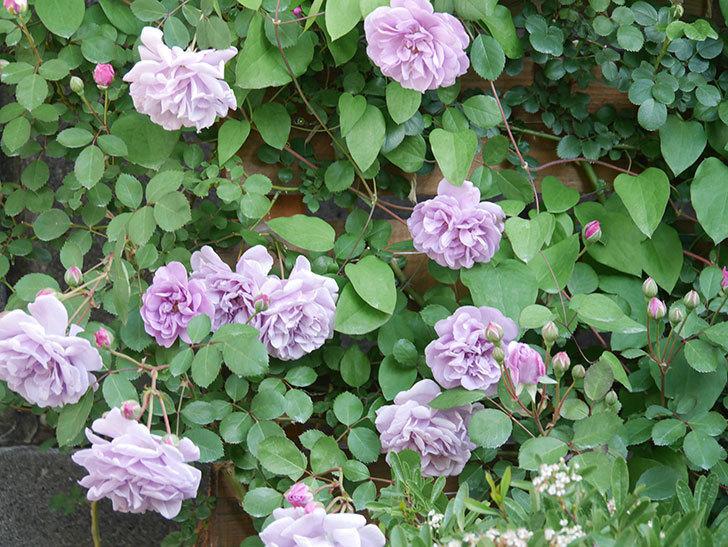 レイニーブルー(Rainy Blue)の花が良い感じになってきた。ツルバラ。2021年-033.jpg