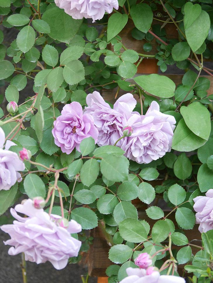 レイニーブルー(Rainy Blue)の花が良い感じになってきた。ツルバラ。2021年-034.jpg
