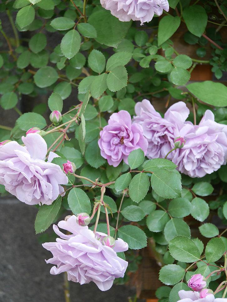 レイニーブルー(Rainy Blue)の花が良い感じになってきた。ツルバラ。2021年-035.jpg