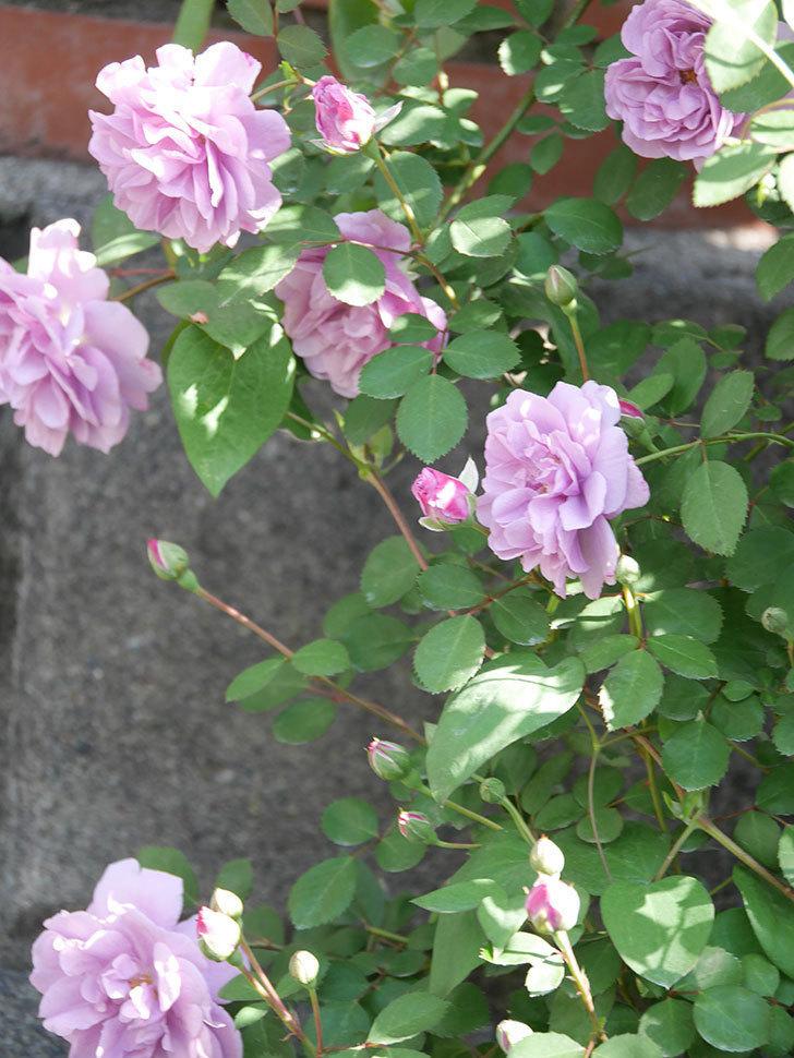 レイニーブルー(Rainy Blue)の花が良い感じになってきた。ツルバラ。2021年-036.jpg