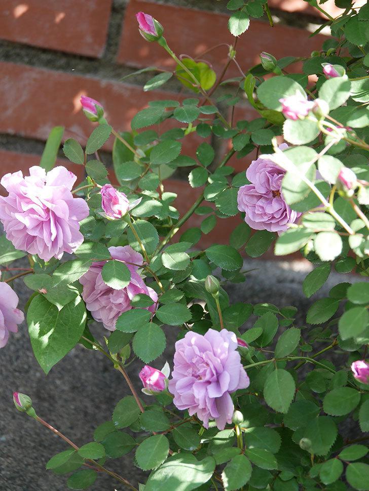 レイニーブルー(Rainy Blue)の花が良い感じになってきた。ツルバラ。2021年-037.jpg