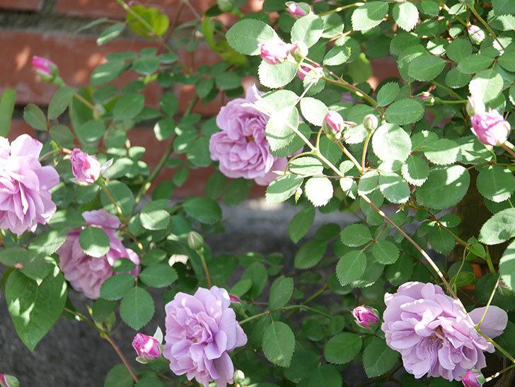 レイニーブルー(Rainy Blue)の花が良い感じになってきた。ツルバラ。2021年-038.jpg