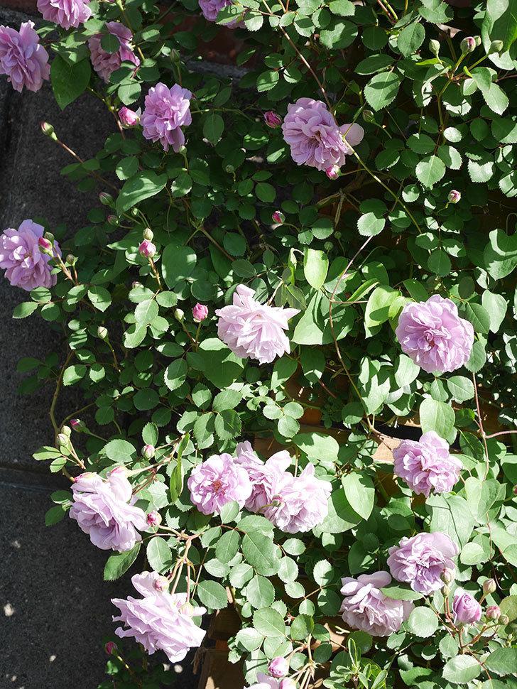 レイニーブルー(Rainy Blue)の花が良い感じになってきた。ツルバラ。2021年-041.jpg