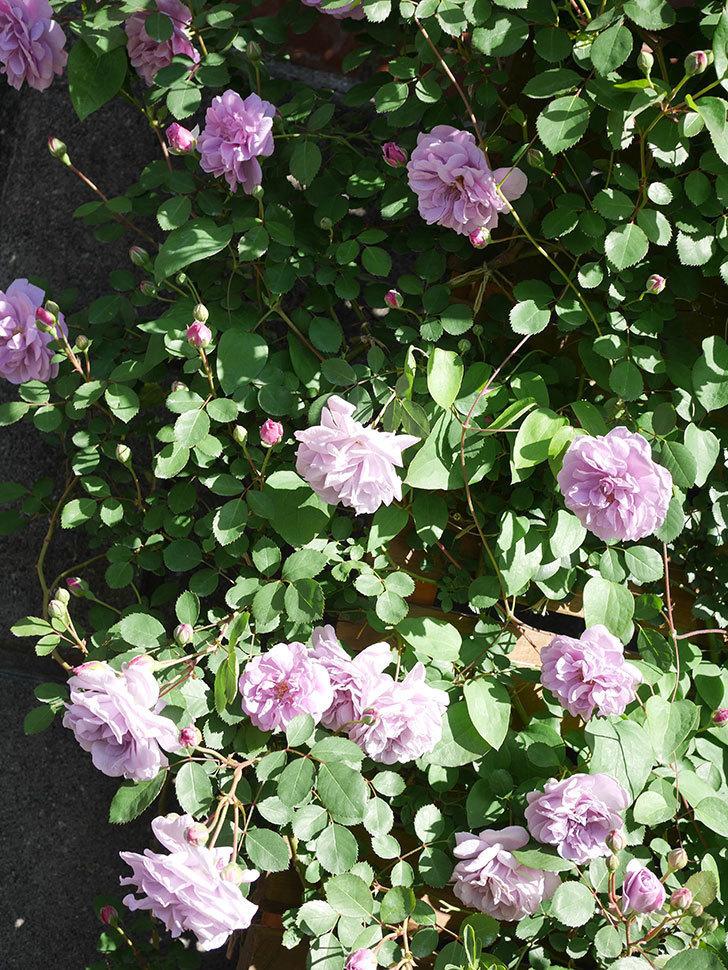 レイニーブルー(Rainy Blue)の花が良い感じになってきた。ツルバラ。2021年-042.jpg
