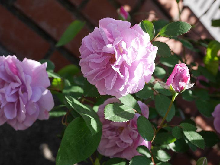 レイニーブルー(Rainy Blue)の花が良い感じになってきた。ツルバラ。2021年-043.jpg