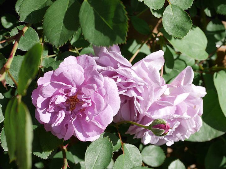 レイニーブルー(Rainy Blue)の花が良い感じになってきた。ツルバラ。2021年-046.jpg
