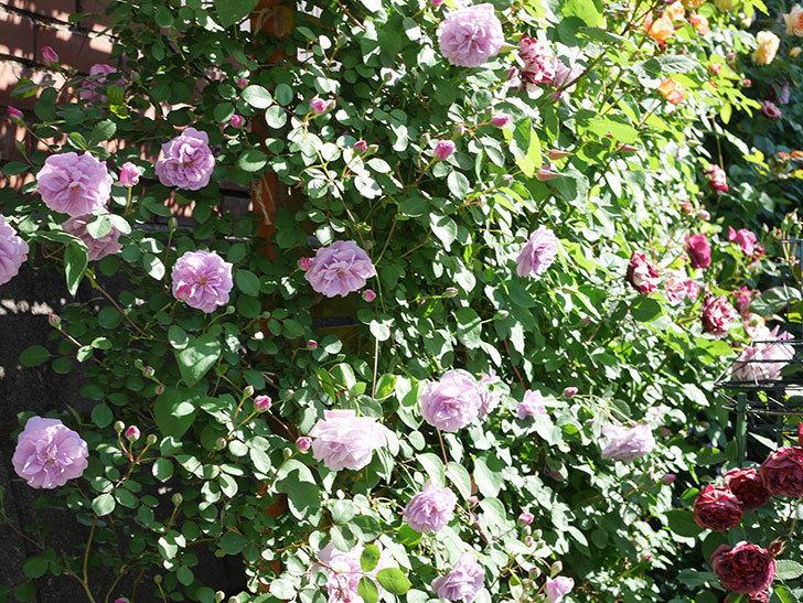 レイニーブルー(Rainy Blue)の花が良い感じになってきた。ツルバラ。2021年-049.jpg