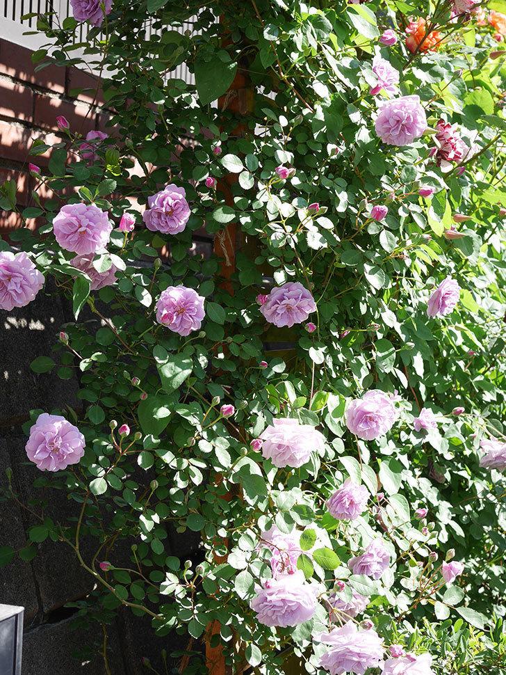 レイニーブルー(Rainy Blue)の花が良い感じになってきた。ツルバラ。2021年-050.jpg